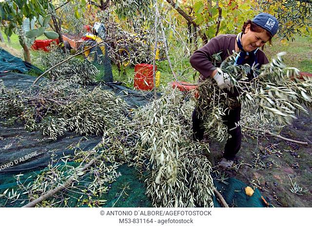 a mid age woman harvest an olive tree province of benevento campania italy europe