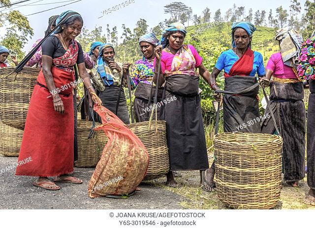 tea pluckers, Nuwara Eliya, Sri Lanka, Asia