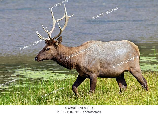 Elk / wapiti (Cervus canadensis) bull foraging along lake shore in summer, Jasper National Park, Alberta, Canada