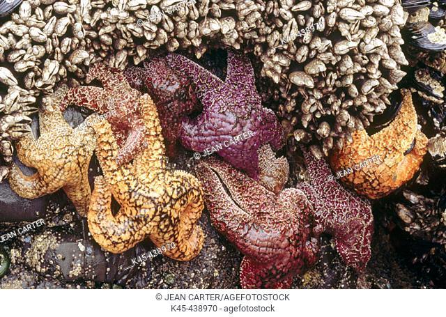 Ochre Seastars (Pisaster ochraceus) on rocky cliff, South of Cannon Beach. Northern Oregon coast, USA