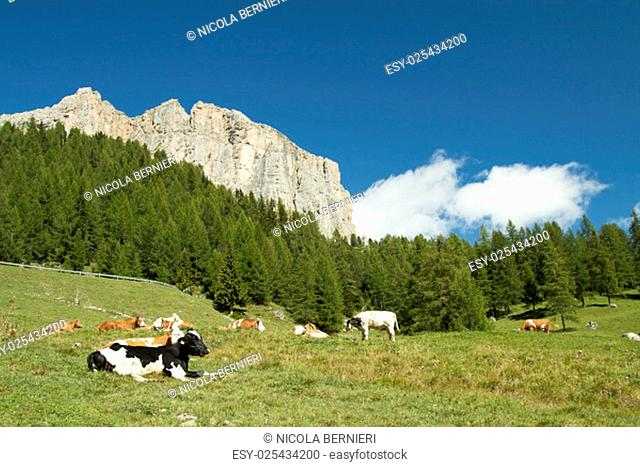 Cows grazing in a green meadow with pine trees an rock wall in the background with white clouds and blue sky