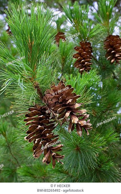 Macedonian pine, Balkan pine Pinus peuce, cones on a tree