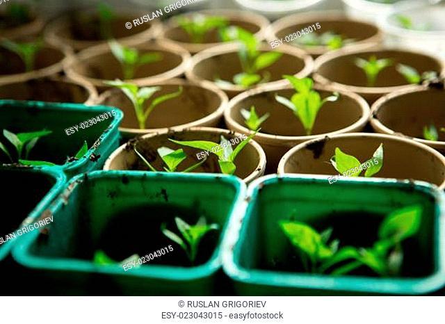 A bunch of baby plants growing inside of pots inside of a greenhouse nursery