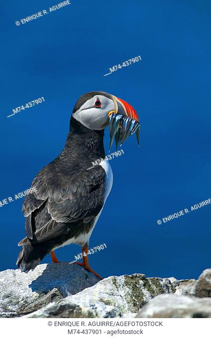 Atlantic Puffin (Fratercula artica) perched on a rock with a beak full of fish