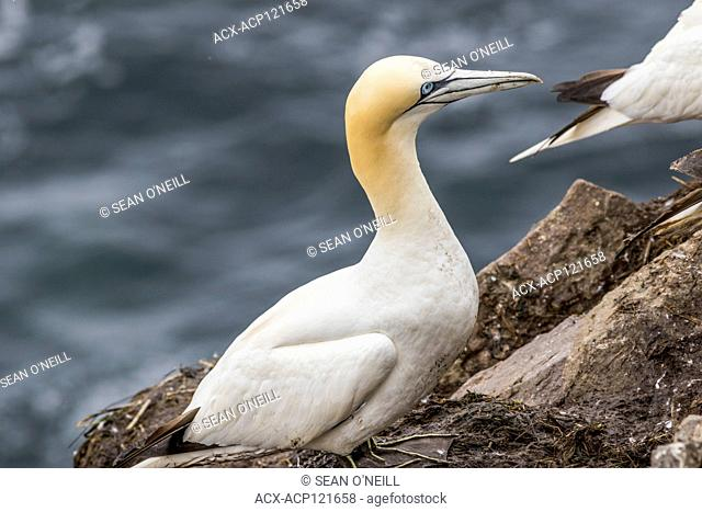 Northern Gannet, Morus bassanus, close-up shot, Cape St. Mary's ecological reserve, Newfoundland, Canada