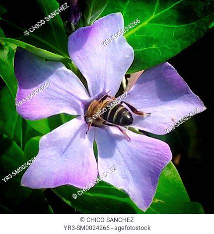 A bee licks a purple flower in Prado del Rey, Sierra de Cadiz, Andalusia, Spain