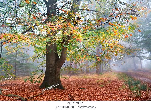 old beech colorful tree in misty autumn forest