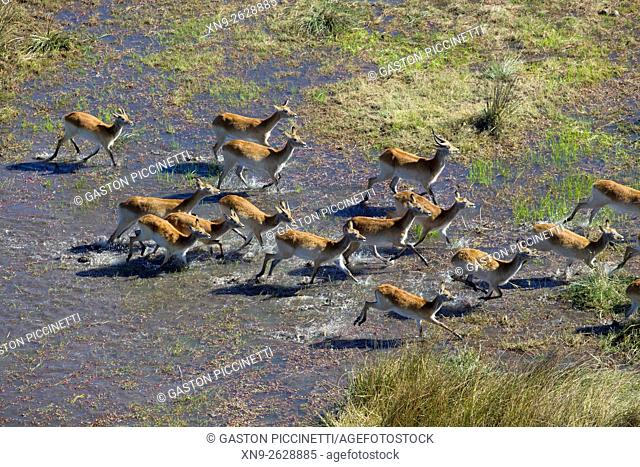 Red Lechwe (Kobus leche), running in the freshwater marsh, aerial view. Okavango Delta, Moremi Game Reserve, Botswana. The Okavango Delta is home to a rich...