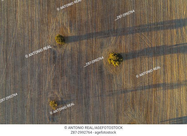 Holm oaks in the fields of La Mancha. La Roda. Albacete Province. Spain