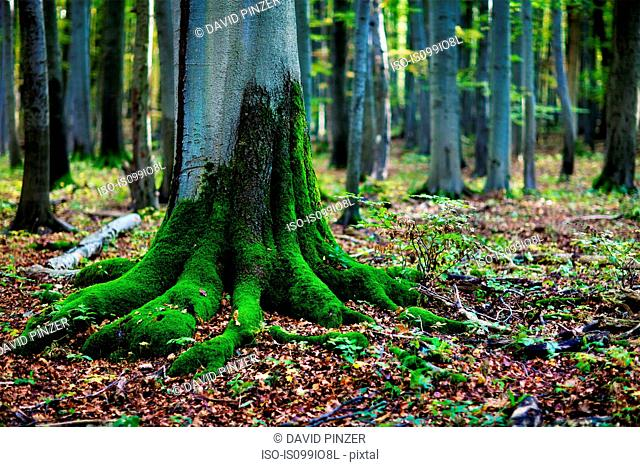 Moss on tree roots in forest