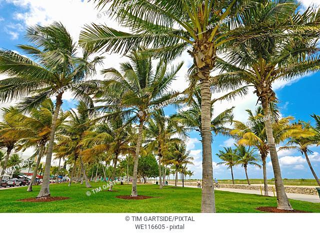 palm trees, south beach area, Ocean Drive, Miami, Florida, USA