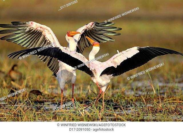Couple of Yellow-billed stork (Mycteria ibis = Ibis ibis). Island in Chobe River NP, Botswana