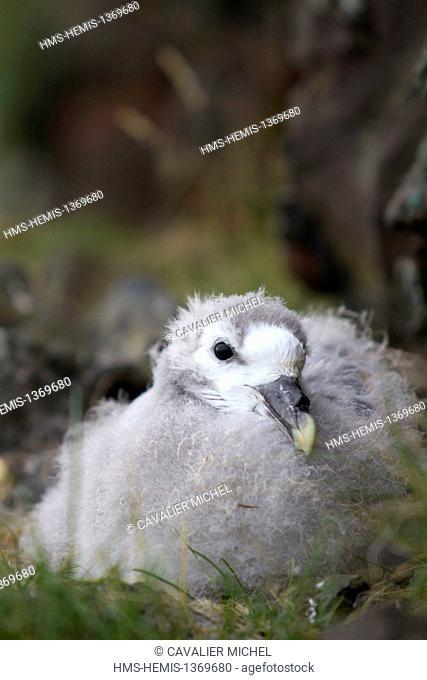 Iceland, Nordurland region, peninsula of Vatnsnes, Hvitserkur, young Northern Fulmar (Fulmarus glacialis) in the nest