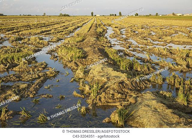 Desolated rice field (Oryza sativa) just after the rice harvest. Environs of the Ebro Delta Nature Reserve, Tarragona province, Catalonia, Spain