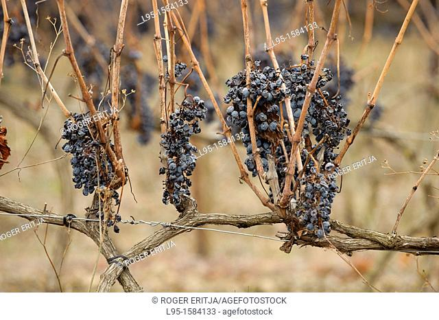 Grape vine fruit in the Priorat area which had not been harvested and kept left on the plant up to December, Spain
