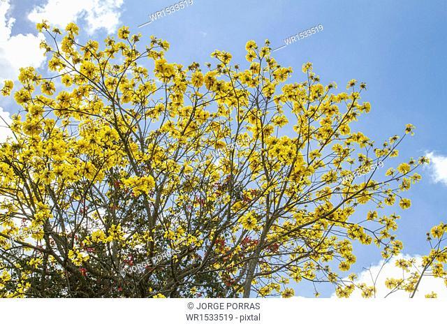 Tabebuia chrysantha