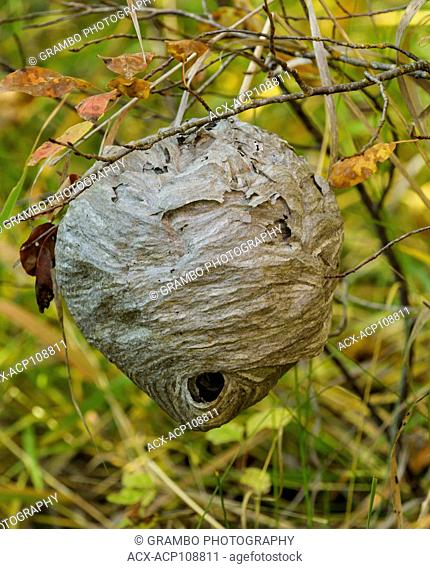 Nest of baldfaced hornet, Dolichovespula maculata, located about 1 meter (3 ft) above ground in brushy area. Autumn near Kalispell, Montana