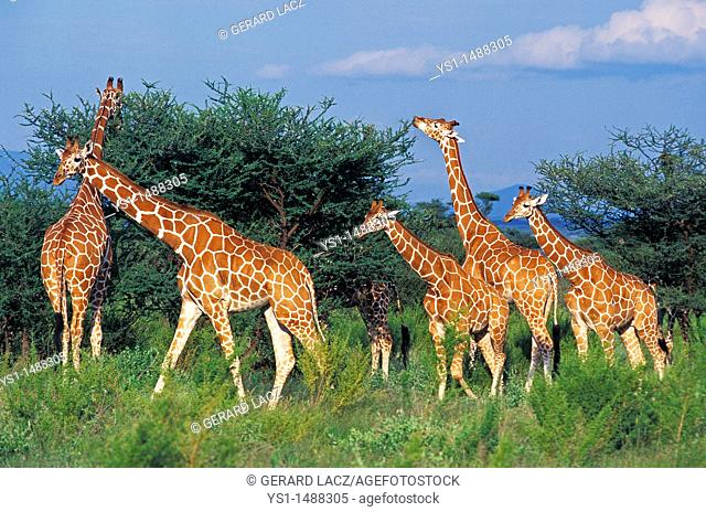 Reticulated Giraffe, giraffa camelopardalis reticulata, Group eating Acacia Tree, Samburu Park in Kenya