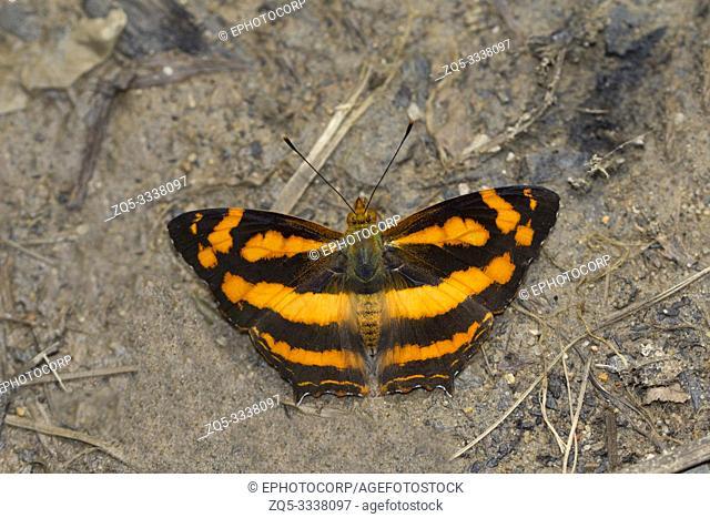 Spotted Jester, Symbrenthia hypselis, Myao, Arunachal Pradesh, India