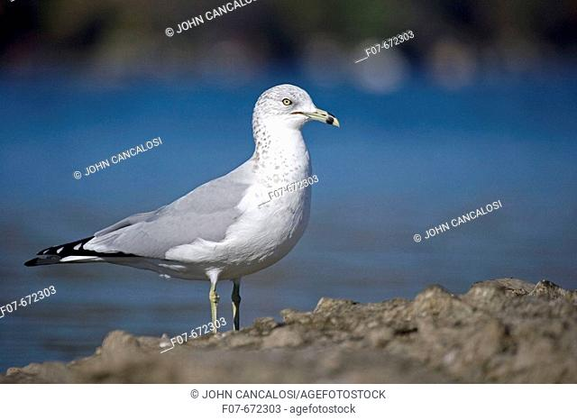 Ring-billed Gull (Larus delawarensis). New York. USA. Adult standing on rock by lake. Most commonly seen gull. Especially inland