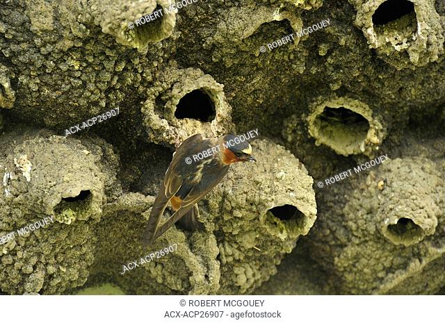 A cliff swallow perched on a mud constructed nest at a nesting colony under a highway bridge in southern Alberta Canada