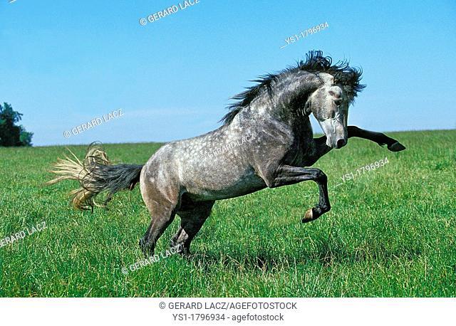 Lusitano Horse, Stallion Bucking