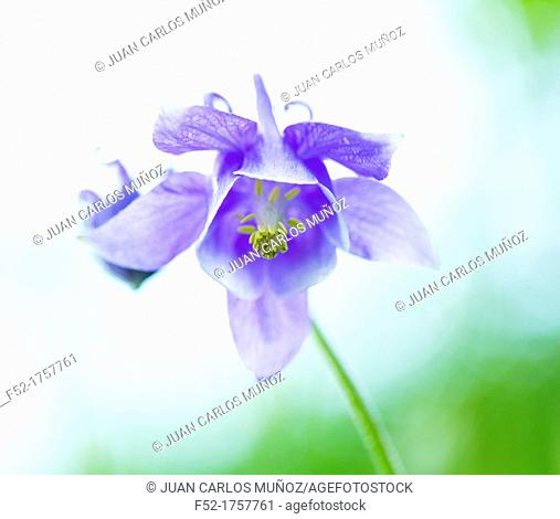 COMMON COLUMBINE Aquilegia vulgaris, Common ColumbineFuentes del Narcea, Degaña e Ibias Natural Park, Asturias, Spain, Europe