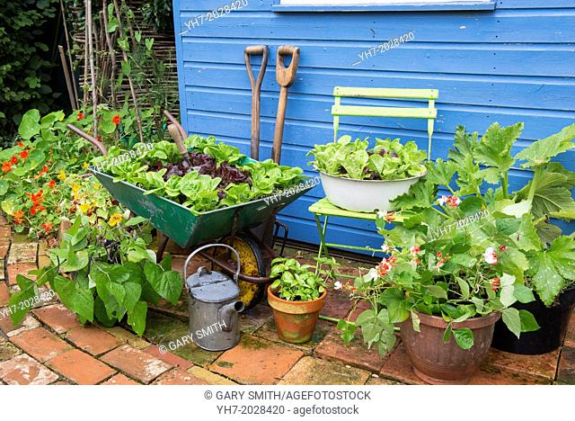 Small garden corner with old wheelbarrow and old enameled bowl planted with lettuce varieties 'Little gem pearl' and 'Dazzle'