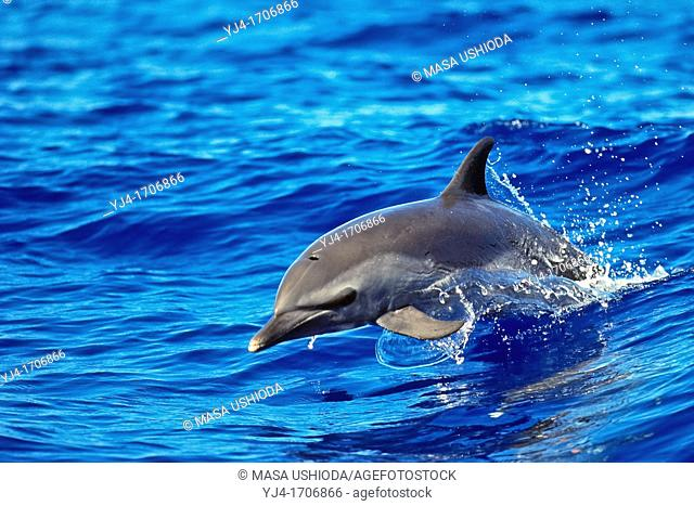 pantropical spotted dolphin, Stenella attenuata, baby dolphin, jumping out of boat wake, wake-riding, offshore, Kona Coast, Big Island, Hawaii, USA