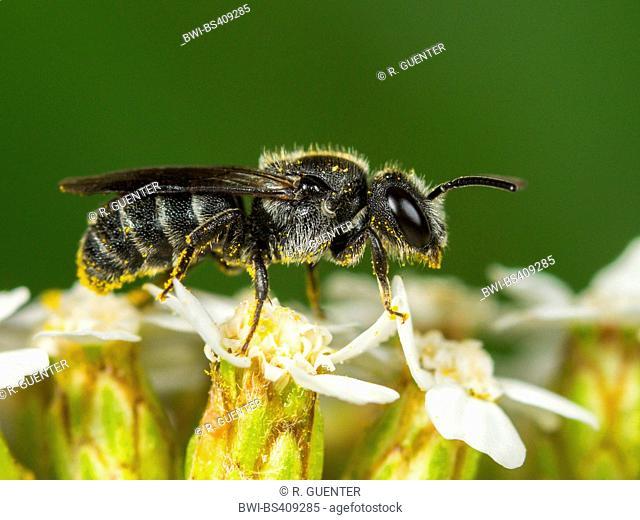 solitary bee (Stelis minuta), Male foraging on Common Yarrow (Achillea millefolium), Germany