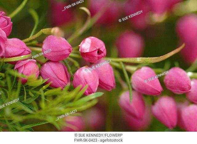 Boronia heterophylla, Red boronia