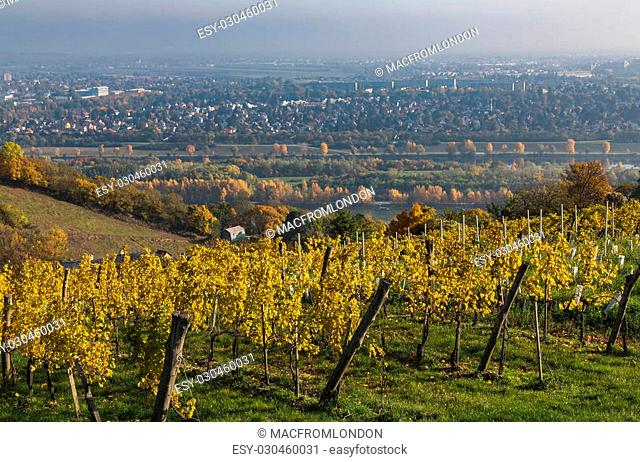 Colourful leaves on Vineyard Plantations in Austria during the Autumn. There is space for text