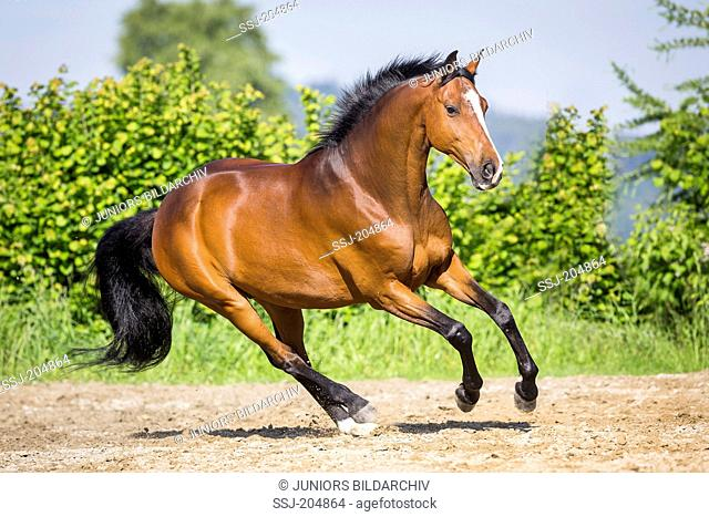 Trakehner. Bay gelding galloping in a paddock. Switzerland