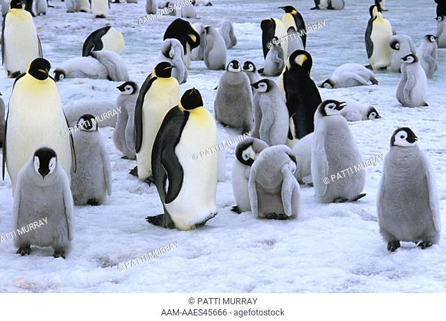 Emperor Penguins with Young (Aptenodytes forsteri) Snow Hill I., Antarctica