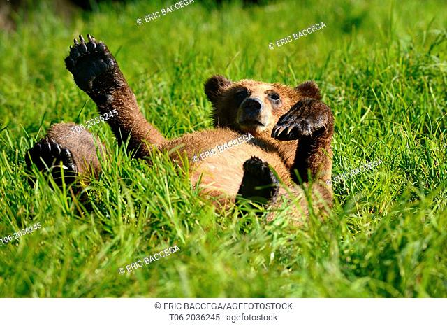 Grizzly bear cub (Ursus arctos horribilis) resting in the sedges, Khutzeymateen Grizzly Bear Sanctuary, British Columbia, Canada, June 2013