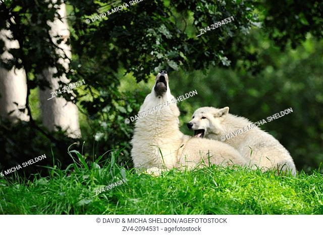 Cose-up of two arctic wolf (Canis lupus arctos) youngsters roaring