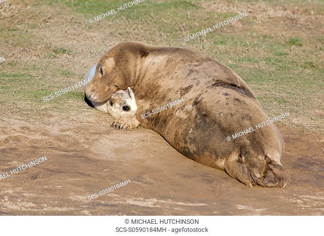 Grey Seal Halichoerus grypus adult female mother and pup 'playing' November Donna Nook, Lincolnshire, UK