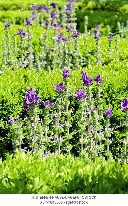 Annual sage Salvia viridis 'Marble Arch Blue' syn  Salvia horminum 'Marble Arch Blue' and Korean boxwood Buxus sinica var  insularis 'Justin Brouwers'