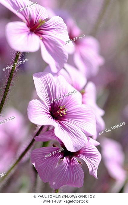 Madeira cranesbill, Geranium Maderense, Side view of several mauve flowers with deeper centres