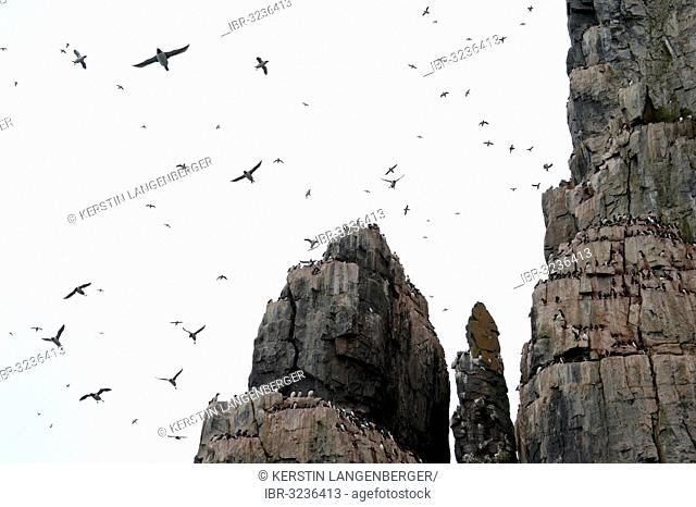 Thick-billed Murres or Brünnich's Guillemots (Uria lomvia) on the bird cliffs of Alkefjellet