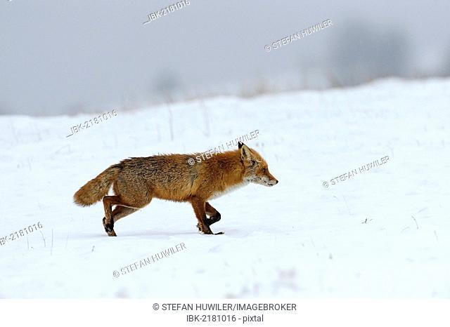 Red Fox (Vulpes vulpes), during the rut season in February, Sinite Kamani Nature Park, Bulgaria, Europe