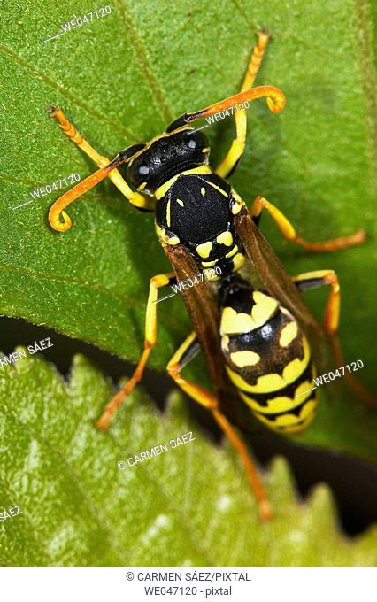 Wasp (Polistes gallicus)