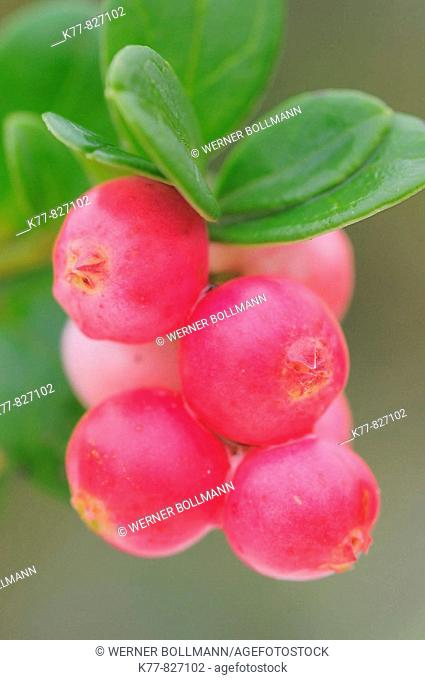 Cowberry/Foxberry (Vaccinium vitis-idaea), fruits. Niederhorn, Switzerland