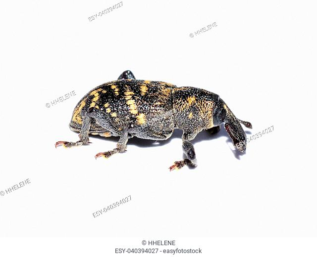 The pest beetle large pine weevil isolated on white background