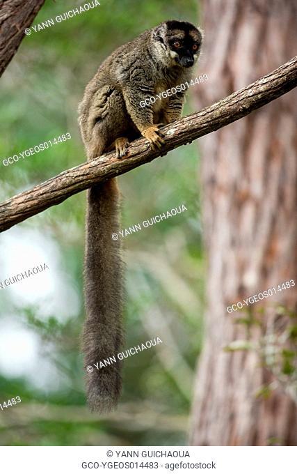Common Brown Lemur, Eulemur fulvus,Vakôna Forest Lodge, Andasibe, Madagascar