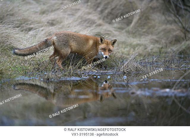 Red Fox (Vulpes vulpes) at the edge of a little natural pond, seems to be thirsty, looks surprised, reflecting in water