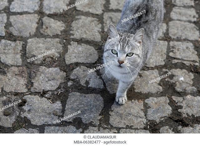 Cobblestones, cat