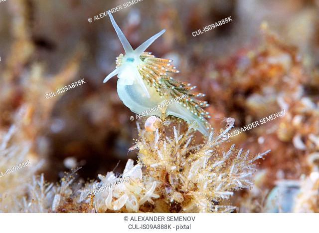 Trinchesia viridis nudibranch