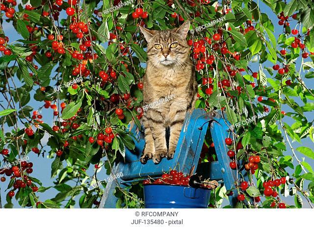 cat on ladder in between cherries