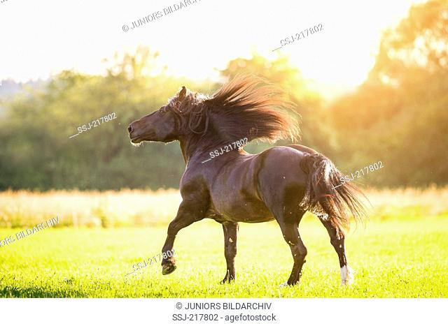 South German Coldblood. Bay gelding galloping on a pasture. Germany